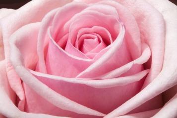 rose-373790_640
